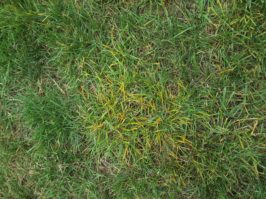 Lawn Diseases image from Lake Stevens