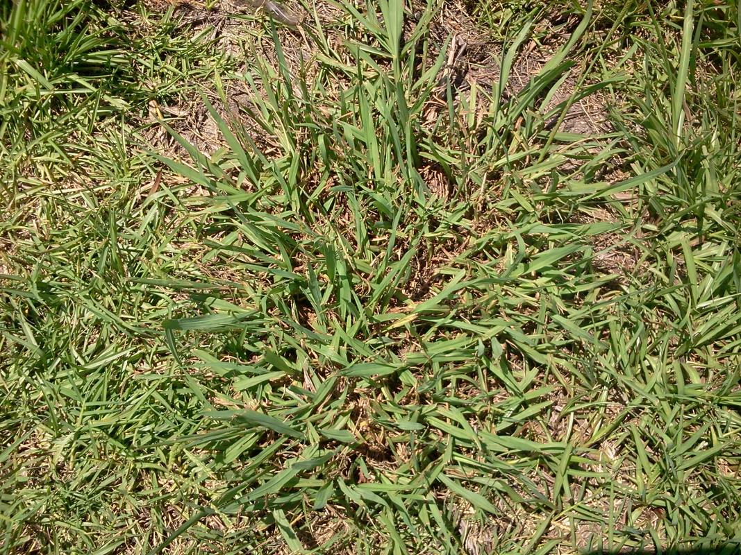 Grassy Weeds image from Gonzales