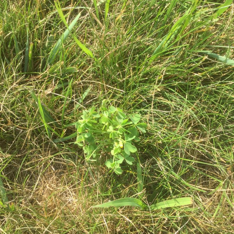 Broadleaf Weeds image from Rochester