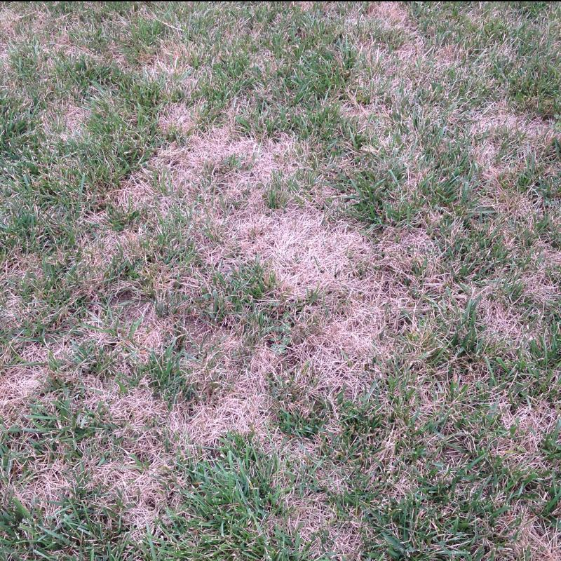 Lawn Diseases image from Stafford
