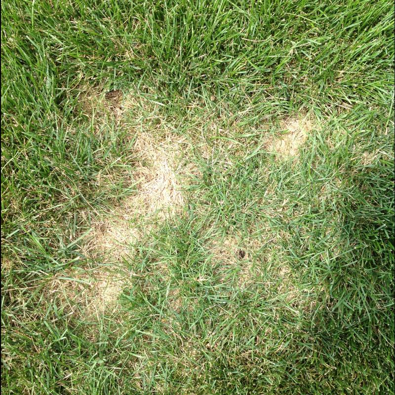 Lawn Diseases image from Joliet