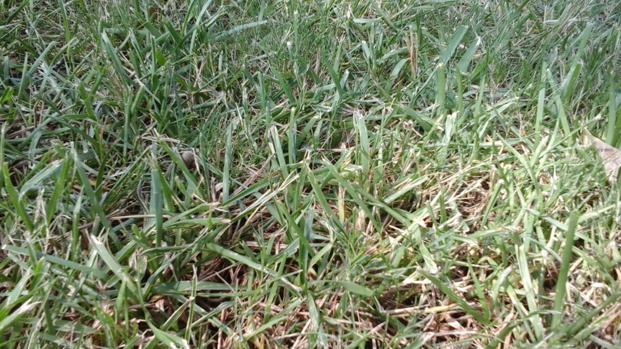 Uncontrol Grassy Weeds image from Mandeville